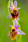 fotografie/closeup/Italy_Ophrys_holosericea_t.jpg